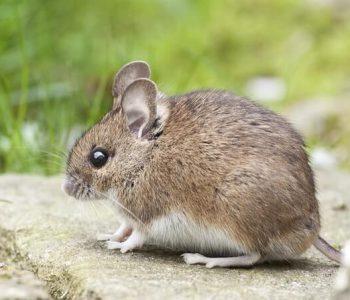 animal-cute-little-mouse-301448