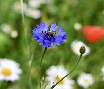 pxcornflower-5315072
