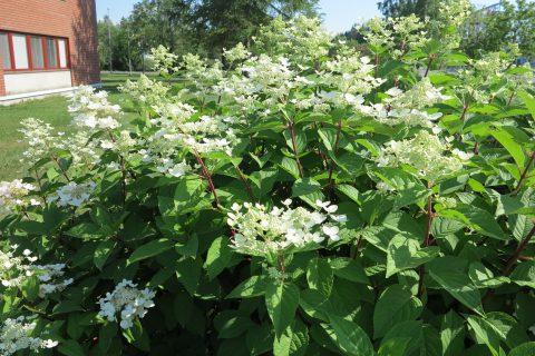 Astiataimia istuttamalla saadaan nopeasti näyttäviä kasviryhmiä. Esimerkiksi nyt on helppo valita oma suosikkinsa laajasta pensashortensioiden joukosta.